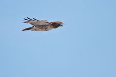 Red-Tailed Hawk in Flight Across Blue Sky. A Red-Tailed Hawk Soaring Across Blue Sky Royalty Free Stock Images