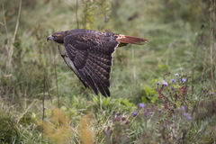 Red Tailed Hawk in flight. Beautiful Harlan`s Red Tailed hawk in flight. Carol Gray; grayfoxxpixx.com Stock Photos