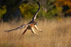 Red-tailed hawk in flight Stock Images