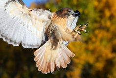 Red-tailed hawk in flight Royalty Free Stock Image