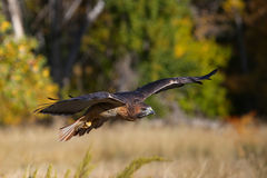 Red-tailed hawk in flight Stock Photography
