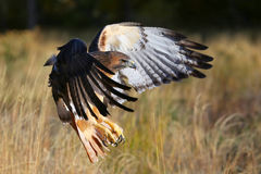 Red-tailed hawk in flight Stock Photo