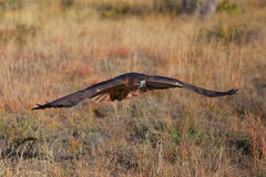 Red-tailed hawk in flight Royalty Free Stock Photo