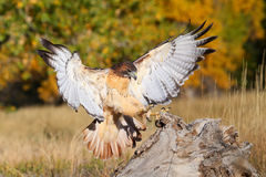 Red-tailed hawk in flight Royalty Free Stock Photography
