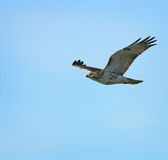 Red-tailed Hawk in Flight. A Red-tailed Hawk in flight looking for food Royalty Free Stock Images