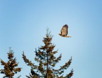 Red tailed Hawk flying by against backdrop of trees and blue sky stock photos