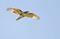 Red Tailed Hawk Flying In a Blue Sky Royalty Free Stock Photography