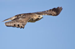 Red-Tailed Hawk Flying in Blue Sky Stock Photos
