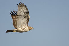 Red-Tailed Hawk Flying in Blue Sky Stock Images