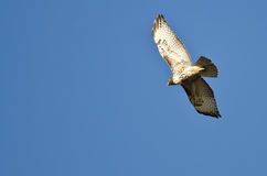 Red-Tailed Hawk Flying in a Blue Sky Royalty Free Stock Photos