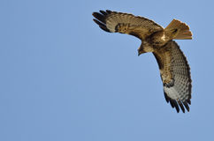 Red-Tailed Hawk Flying in a Blue Sky Stock Images