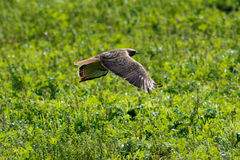 Red tailed hawk flying Stock Image