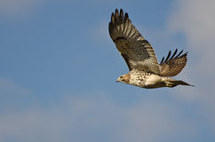 Red-Tailed Hawk Flying in a Cloudy Sky. An Immature Red-Tailed Hawk Flying in a Cloudy Sky Royalty Free Stock Photos