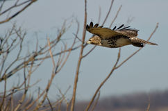 Red-Tailed Hawk Flying with Fingertips Flared. An Immature Red-Tailed Hawk Flying with Fingertips Flared Royalty Free Stock Photography