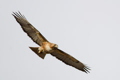 Red-tailed hawk flying Stock Image