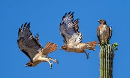 Red Tailed Hawk Flying off a Saguaro Cactus royalty free stock images