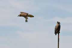 Red Tailed Hawk Flying Past Artificial Owl Royalty Free Stock Image