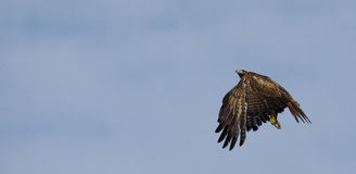 Red Tailed Hawk Flying. A red tailed hawk taking fight against light blue sky Royalty Free Stock Images