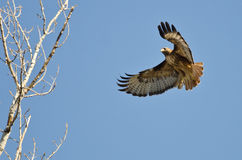 Red-Tailed Hawk Flying Among the Trees. Red-Tailed Hawk Flying High Among the Trees Royalty Free Stock Photography