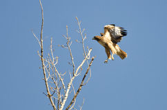 Red-Tailed Hawk Flying Among the Trees. Red-Tailed Hawk Flying Among the Tall Trees Stock Photos