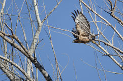 Red-Tailed Hawk Flying Among the Trees. Red-Tailed Hawk Flying Among the Tree Tops Royalty Free Stock Image