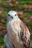 Red-Tailed Hawk Full Facial View Stock Image