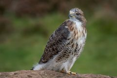 Red tailed hawk. Full length portrait of a red tailed hawk perched on a rock and looking over its shoulder to the left royalty free stock photo