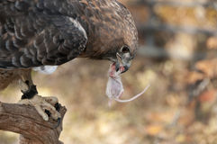 Red-tailed hawk grasping mouse in beak Stock Image
