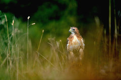 Red-tailed Hawk in the grass Royalty Free Stock Photos