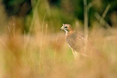 Red-tailed Hawk in the grass Royalty Free Stock Photo