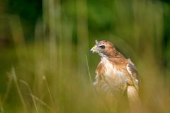 Red-tailed Hawk in the grass Stock Image