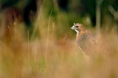 Red-tailed Hawk in the grass Royalty Free Stock Photography
