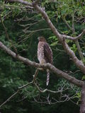 Red-tailed Hawk on green. The Red-tailed Hawk (Buteo jamaicensis) is a bird known in the United States as the chickenhawk stock photos