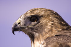 Red Tailed Hawk Head Stock Image