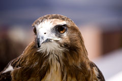 Red Tailed Hawk Head Shot. Close up a of majestic red tailed hawk royalty free stock image