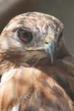 Red-tailed Hawk. Head shot Royalty Free Stock Images