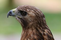 Red tailed Hawk. Head shot portrait close up stock photography
