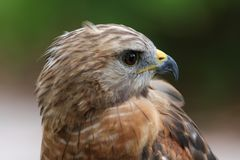 Red tailed Hawk. Head shot portrait close up royalty free stock images