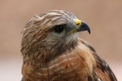 Red tailed Hawk. Head shot portrait close up stock images