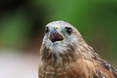 Red tailed Hawk. Head shot portrait close up royalty free stock image