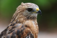 Red tailed Hawk. Head shot portrait close up royalty free stock photo