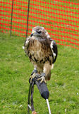 Red Tailed Hawk. Royalty Free Stock Images