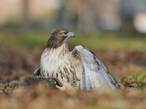 Red-tailed hawk is holding a squirrel. Royalty Free Stock Image