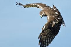 Red Tailed Hawk on the Hunt. Immature Red Tailed Hawk on the Hunt Royalty Free Stock Images