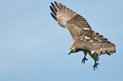Red Tailed Hawk on the Hunt. Immature Red Tailed Hawk on the Hunt Stock Photography