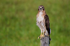 Red-tailed Hawk on the Hunt. A beautiful Red-tailed Hawk on the hunt over a meadow in rural Georgia Stock Photography