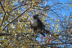 Red-tailed Hawk Hunting in Autumn royalty free stock photos