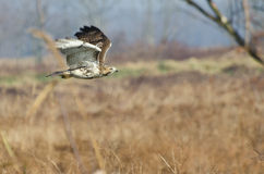 Red-Tailed Hawk Hunting Over Marsh Royalty Free Stock Image