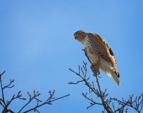 Red-tailed Hawk Hunting. A red-tailed hawk perched on a tree hunting Royalty Free Stock Photography