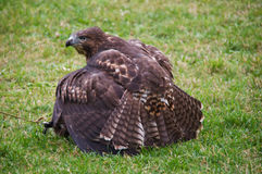 Red-tailed hawk hunting rabbit Royalty Free Stock Image